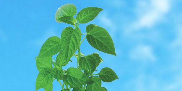 青空のもと育つ緑の葉